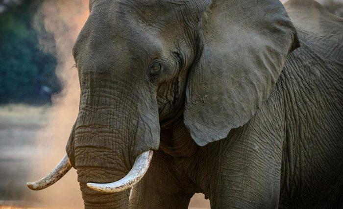 gray-elephant